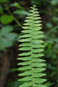 ferns, muttodi