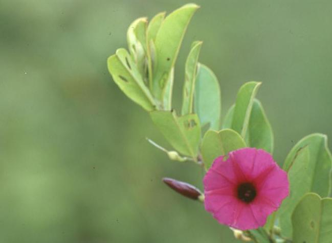 Argyreia cuneata