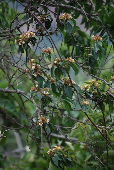 Aganosma cymosa