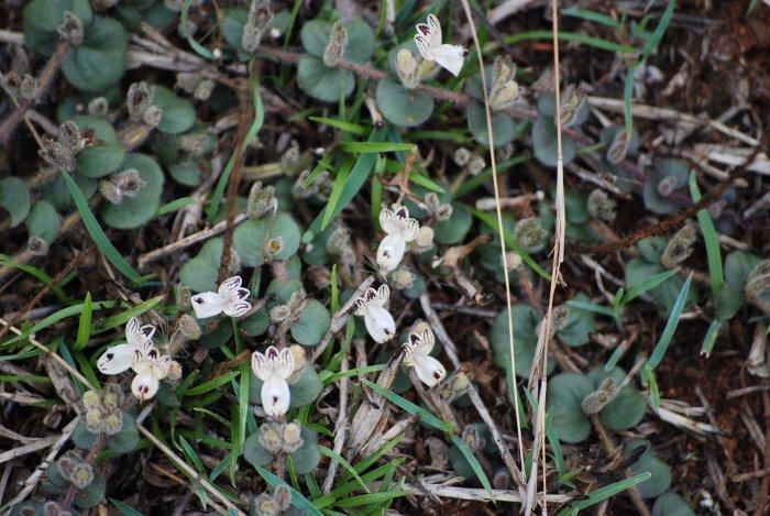 Andrographis serpyllifolia
