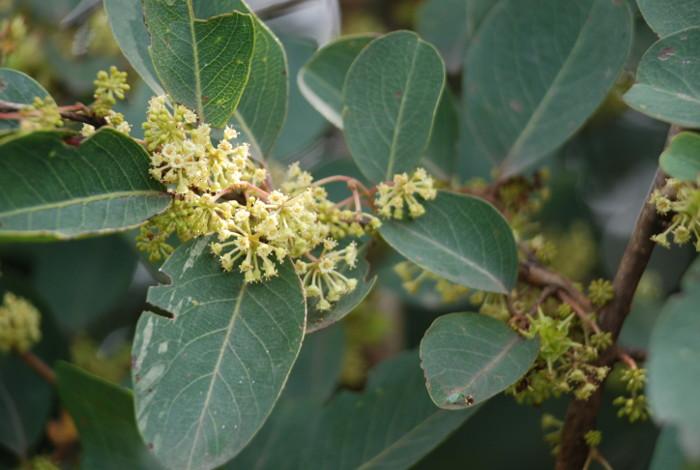 Anogeissus latifolia