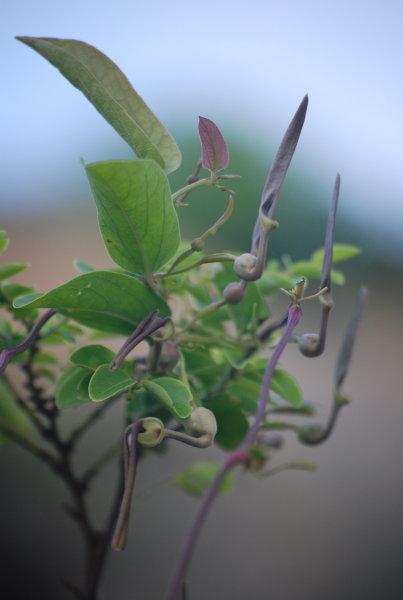 Aristolochia tagala