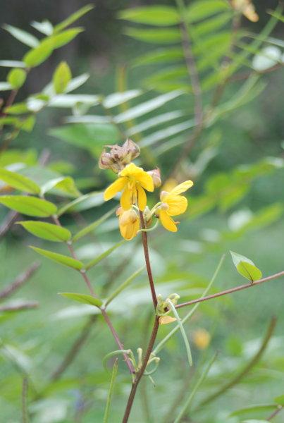 Cassia sophera