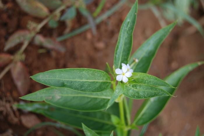 Catharanthus pusillus