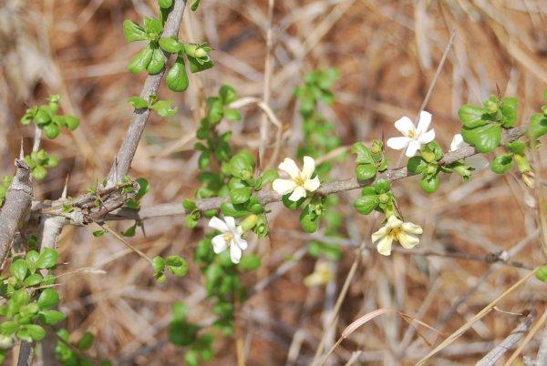 catunaregam spinarum