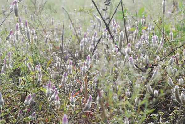 Celosia argentia