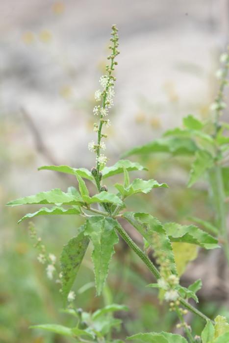 Croton bonplandianus