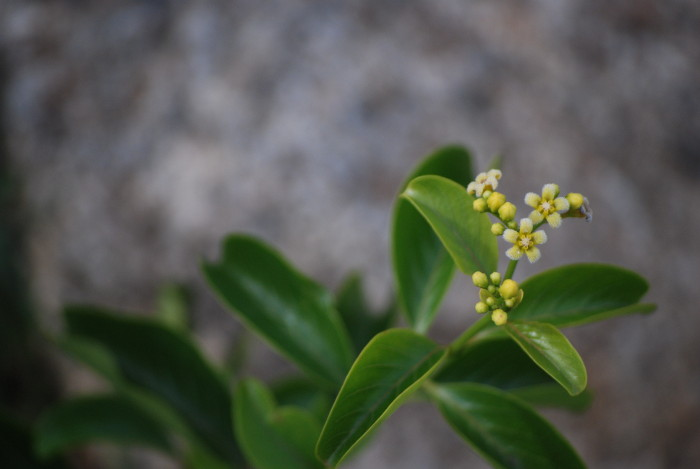 Decalepis hamiltonii