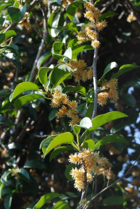 Embelia viridiflora