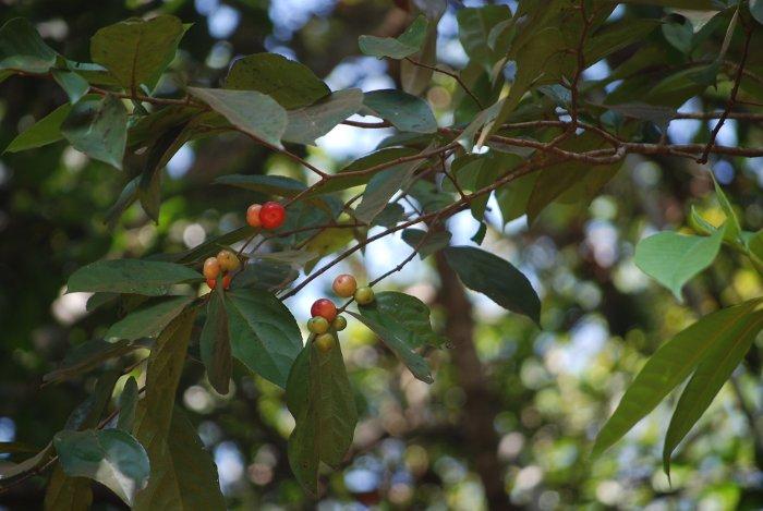 flacourtia montana