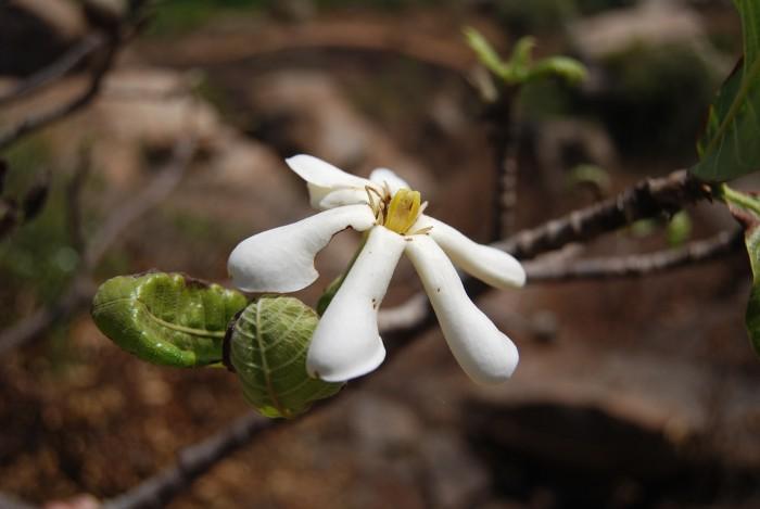Gardenia latifolia