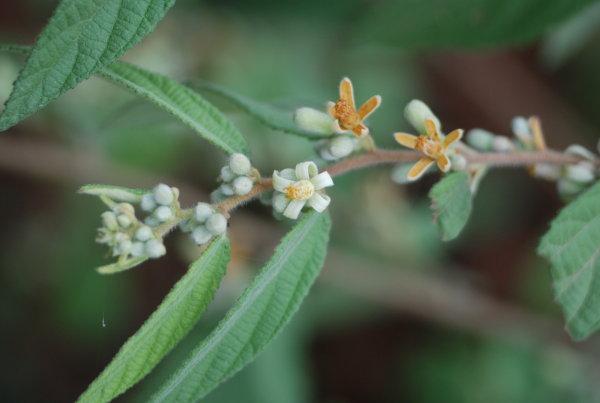 Grewia abutilifolia