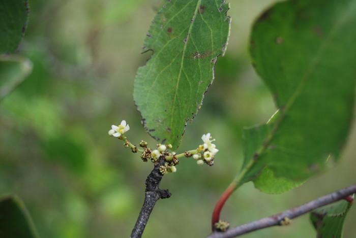 Gymnosporia montana