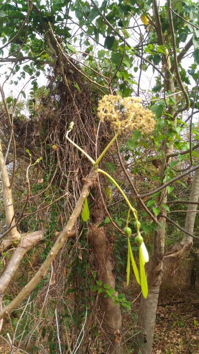 Gyrocarpus americanus