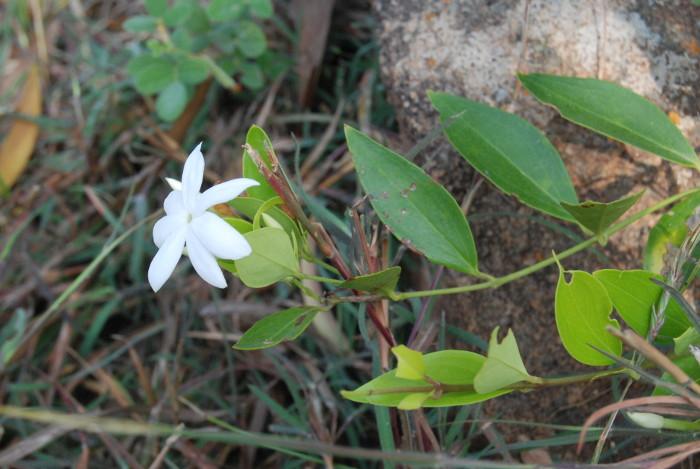 Jasminum cuspidatum