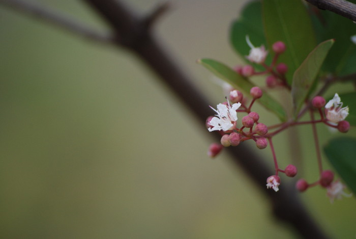 Lagerstroemia parviflora