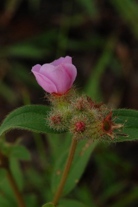 Osbeckia parviflora
