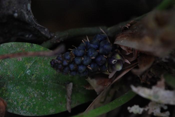 Peliosanthes teta ssp. humilis