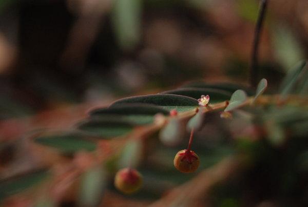 Phyllanthus virgatus