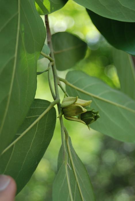 Polyalthia cerasoides