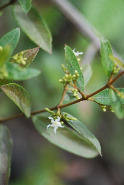 Quirivelia frutescens