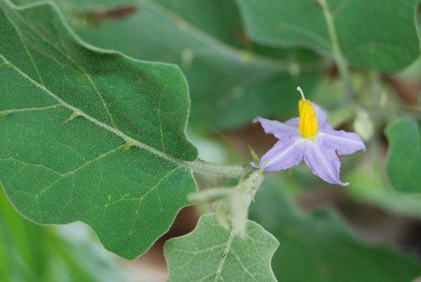 Solanum indicum