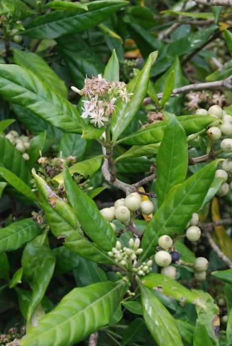 Tarenna asiatica