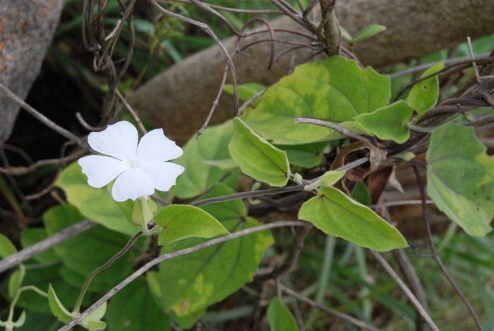 Thunbergia tomentosa