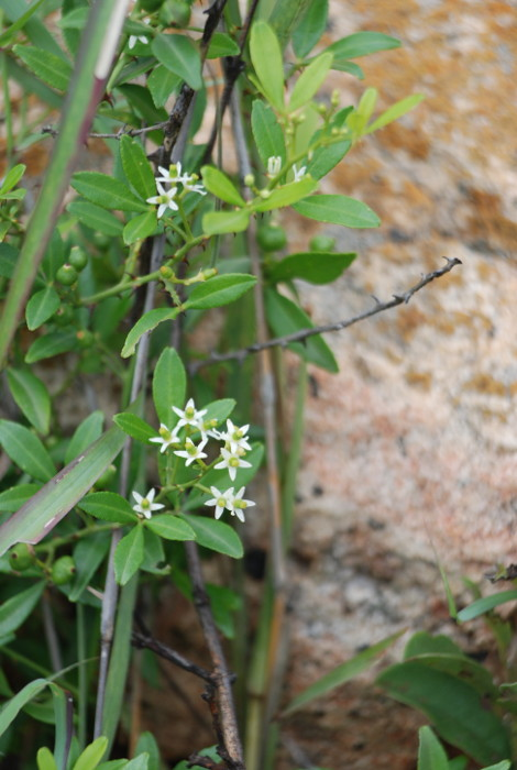 Toddalia asiatica
