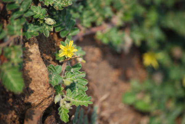 Tribulus terestris