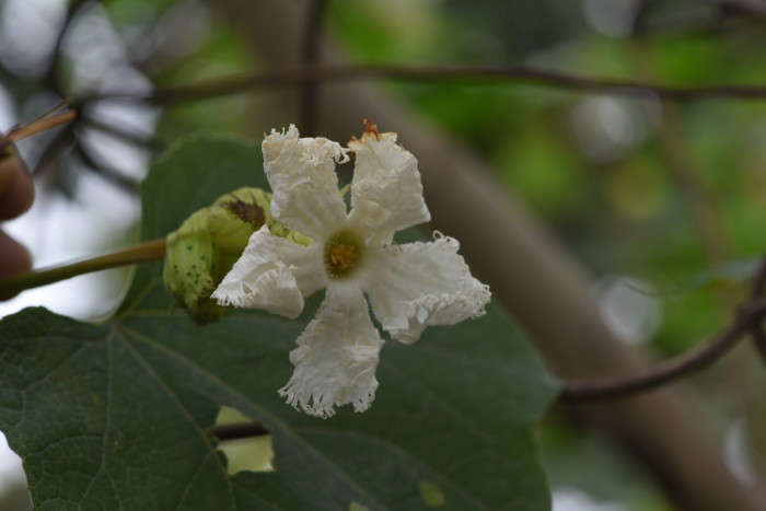 Trichosanthes tricuspidata