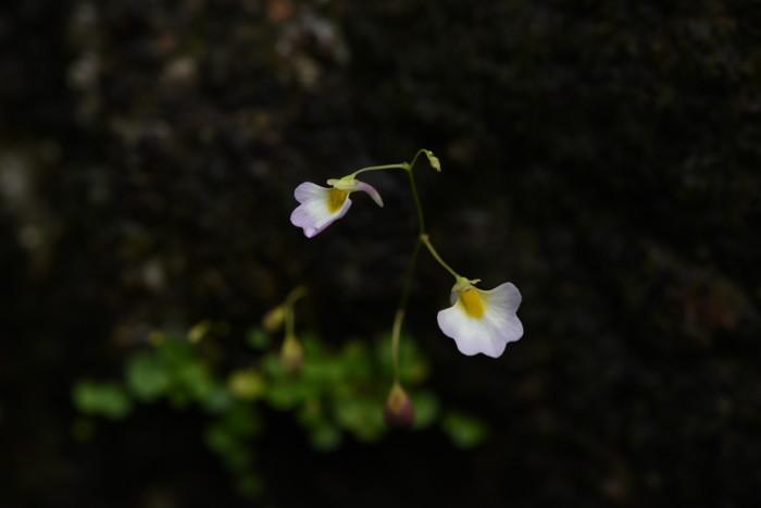 Utricularia striatula