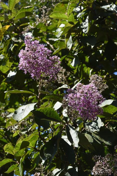 Vernonia arborea